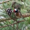 Goldfinch feeding on pine cones, Carduelis carduelis 2755
