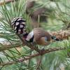 Goldfinch feeding on pine cones, Carduelis carduelis 2758