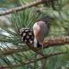 Goldfinch feeding on pine cones, Carduelis carduelis 2773