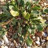 Sea Beet, Beta vulgaris maritima 55255