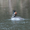 Great Crested Grebe, Podiceps cristatus 3207