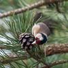 Goldfinch feeding on pine cones, Carduelis carduelis 2772
