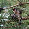 Goldfinch feeding on pine cones, Carduelis carduelis 2766