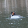 Great Crested Grebe, Podiceps cristatus 3204