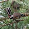 Goldfinch feeding on pine cones, Carduelis carduelis 2759