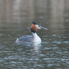 Great Crested Grebe, Podiceps cristatus 3217