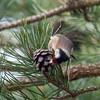 Goldfinch feeding on pine cones, Carduelis carduelis 2770