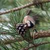Goldfinch feeding on pine cones, Carduelis carduelis 2769