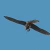 Kestrel with lizard, Falco tinnunculus 8796
