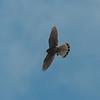 Kestrel with lizard, Falco tinnunculus 8791