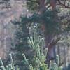Great Grey Shrike, Lanius excubitor 8991