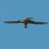 Kestrel with lizard, Falco tinnunculus 8798