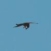 Kestrel with lizard, Falco tinnunculus 8776
