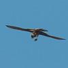 Kestrel with lizard, Falco tinnunculus 8795