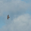 Buzzard, Buteo buteo and Kestrel, Falco tinnunculus 8649
