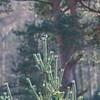 Great Grey Shrike, Lanius excubitor 8990