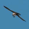 Kestrel with lizard, Falco tinnunculus 8794