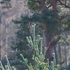 Great Grey Shrike, Lanius excubitor 8984