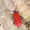 Black-headed Cardinal Beetle, Pyrochroa coccinea 2840