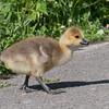 Canada Geese goslings, Branta canadensis 3015