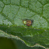 Cucumber Green Spider, Araniella cucurbitina 2883