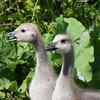 Canada Geese goslings, Branta canadensis 2991