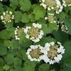 Guelder Rose, Viburnum Opulus 9340
