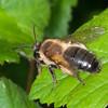 Honey Bee, Apis mellifera 2920