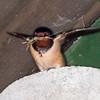 Swallow collecting nest material, Hirundo rustica 2965