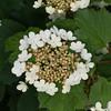 Guelder Rose, Viburnum Opulus 2886