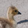 Canada Geese goslings, Branta canadensis 3007