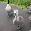 Canada Goose goslings, Branta canadensis 9352