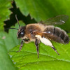 Honey Bee, Apis mellifera 2921