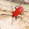 Black-headed Cardinal Beetle, Pyrochroa coccinea 2844