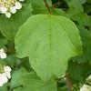 Guelder Rose, Viburnum Opulus 9341