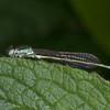 Blue-tailed Damselfly, female, Ischnura elegans 2878