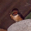 Swallow collecting nest material, Hirundo rustica 2968