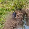 Swallow collecting nest material, Hirundo rustica 2983