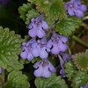 Ground-ivy, Glechoma hederacea 3063