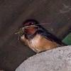 Swallow collecting nest material, Hirundo rustica 2967