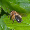 Honey Bee, Apis mellifera 2919
