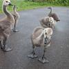 Canada Goose goslings, Branta canadensis 9354