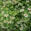Guelder Rose, Viburnum Opulus 9342