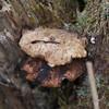 bracket fungus noid 3755