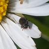 pollen beetle, Meligethes aeneus 6417