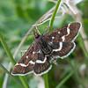 Wavy-barred Sable, Pyrausta nigrata 6460