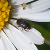 pollen beetle, Meligethes aeneus 6416