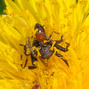 Spider with Sphecodes bee noid 6316