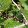 Spider with Sphecodes bee noid 6324
