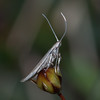 Wood-rush Case-bearer, Coleophora otidipennella 8795